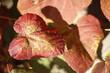 Liść czerwony jesienny
