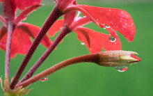 Raindrops On The Red Geranium Flowers, Green Background