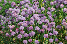 Lilac Herb Chives Flowers