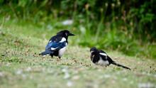 Two Magpies On The Grass In Coventry, England, UK