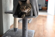 Grey Stiped Cat On Scratching Post At Home Indoors