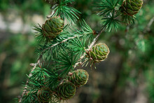 Close-up Conifer Branch With Lots Of Cones