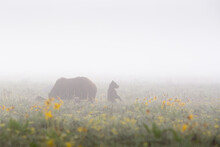 A Grizzly Bear Cub Of Grizzly Bear Standing In The Fog And Arrowhead Balsamroot Wildflowers While Its Mother Grazes For Food. Grand Teton National Park, Wyoming