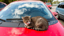 A Cat Is Resting On The Hood Of A Red Car