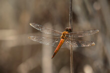 Closeup Of Orange Dragonfly On A Branch