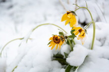 A Late Winter Snow Storm Leaving A Few Inches Of Snow On Arrowhead Balsamroot Wildflowers Along The Crystal Butte Trail. Bridger-Teton National Forest, Wyoming