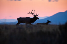 A Bull Elk Chasing After A Straggling Cow Elk At Sunrise As He Tries To Keep His Harem Intact During The Rut. Grand Teton National Park, Wyoming