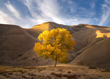 Lone Cottonwood Tree, Central California