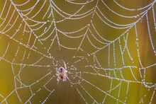 A Spider And Morning Dew On A Spider Web In New York's Adirondack Mountains.