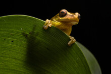 Frog At Night In Ecuador.