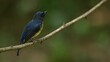 Chinese Blue Flycatcher, Cyornis glaucicomans; Thailand; seen from its front side while perched on a branch looking around.