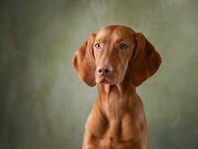 A Dog On A Textured Canvas Background In A Photo Studio. Hungarian Vizsla Portrait