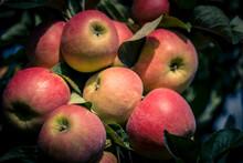 Apfelbäume Im Alten Land Bei Hamburg