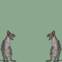 3d Rendering Of Two Angry Sfinks Cats Screaming At Each Other On A Light Blue Background