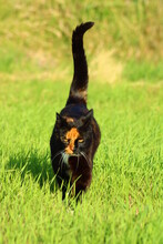 Cat Gracefully Moves Across A Field