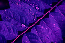 Water Drops On Purple Leaf, Dark Nature Background, Toned Process