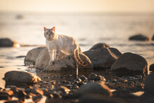 A Tabby Cat That Looks Like A Tiger Walks On The Sand On The Sea During Sunset
