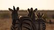back to back zebras in golden light