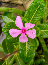 Closeup Shot Of A Bright Pink Periwinkle Flower