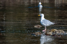 Close Up Of A Seagull On A Rock Bluff In A Pond With Another Seagull Swimming Away In The Background.
