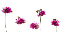 Ornamental Row Of Purple Allium Blossoms With Bees On White Backround