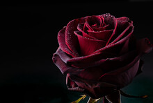 Close Up Of Red Rose With Water Drops On Black Background