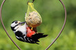canvas print picture - Buntspecht / Great spotted woodpecker / Dendrocopos major