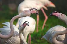 Three Battling Greater Flamingos (Phoenicopterus Roseus).