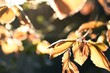 canvas print picture - Herbst, sonniger Tag, Blätter in gold/braun