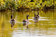 Canada Geese Swimming On A Pond. Birds Of Prey Centre, Coledale, Alberta, Canada