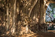 Arbol Del Tule , Montezuma Cypress Tree In Tule. Oaxaca, Mexico
