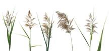 Set Marsh Cane Seeds, Reed Isolated On White Background