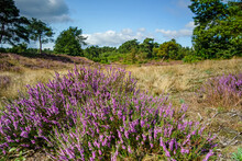 Common Heather Purple Bush In The Field With Green Dense Trees Background Under The Cloudy Sky