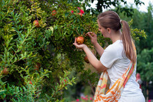 Autumn Harvest. A Young Woman Plucks Pomegranate Fruits From A Tree