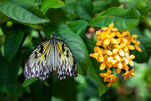Beautiful Tropical Butterfly Called Large Tree Nymph | Paper Kite | Idea Leuconoe Standing On Green Leaves Of Flowers In Konya Tropical Butterfly Garden.