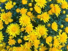 Yellow Chrysanthemum Flowers In Autumn Garden.