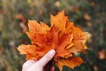 Female Hand Hold Orange Maple Leaves, Autumn Nature Background