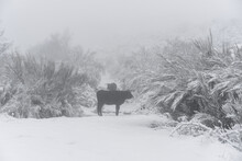 Traditional Portuguese Maronesa Cows On A Snow White Winter Landscape