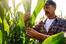 Farmer, Owner Corn Farm Standing In Corn Field Examining Crop. Growth Nature Harvest. Agriculture Farm.