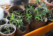 Seedlings Of Petunias In Pots On Kitchen Window
