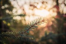 Close Up Of A Fir Branch In The Evening Sun