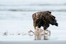 A Young Bald Eagle Eating A Sea Gull On An Ocean Beach