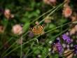 Leinwandbild Motiv Painted Lady Butterfly