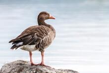 Greylag Goose, Anser Anser, Standing On A Rock