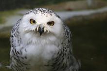 Schnee-Eule / Snowy Owl / Bubo Scandiacus