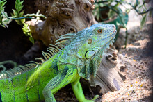 Male Green Iguana, American Iguana Or Iguana Iguana, Close Up Head Green Lizard, Colorful Reptile On The Ground In The Forest
