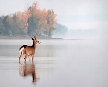 Deer Standing In Water In A River With A Reflection