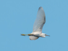 Snowy Egret In Flight Across The Blue Sky