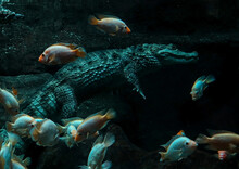 The Crocodile Swims Under Water With The Fish. Underwater World.
