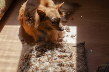 A Red Dog Lies On The Floor Next To A Torn Feather Pillow. The Pet Is Of Mixed Breed. Inside The Room. Pets. Selective Focus.